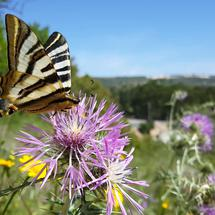 Butterfly on Giant Ironweed in Portugal