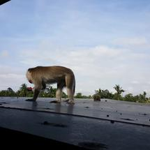 Wild monkey on a roof of an house in Ubud, Bali