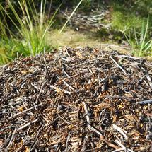 Ant colony in Jotunheimen National Park Norway