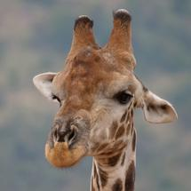 Close up from a giraffe at the Pilanesberg National Park Game Reserve South Africa