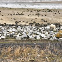 Sheep at the beach during low tide on Terschelling, Friesland The Netherlands