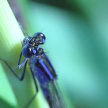 Blue dragonfly cleaning his eye in slow motion