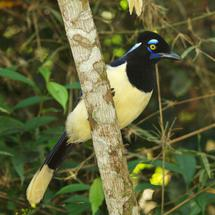 Plush-crested jay in a tree