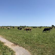 Cows in the meadow on a summer day in Friesland The Netherlands