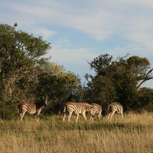 Zebras on the savanna of South Africa