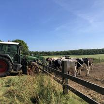Cows eating at a farm around Bakhuizen, Friesland, The Netherlands