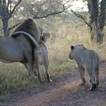 Lion family in Waterberg South Africa