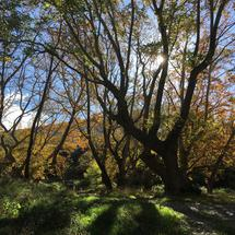 Beautiful big trees with autumn colors around the Peneios river in Thessaly, Greece