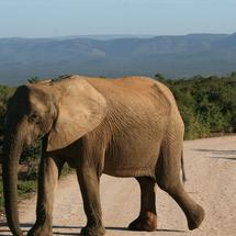 Elephant crossing the road in South Africa