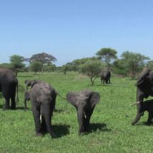 African Elephant calves grazing with the herd
