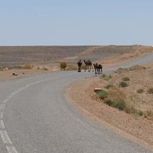 Dromedary camels crossing the road in Morocco
