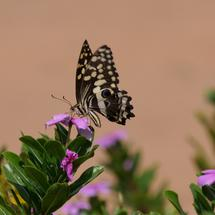 Citrus Swallowtail Butterfly on a pink flower in Waterberg South Africa