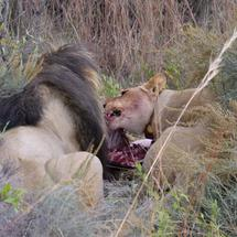 Lions eating from a wildebeest in Pilanesberg Game Reserve South Africa