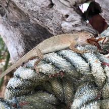 Lizard sitting on a rope eating a bug at Koh Samet island in Thailand