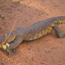 Nile monitor at Waterberg South Africa