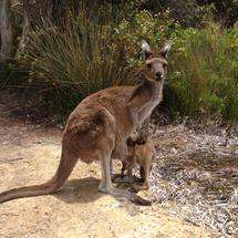Mother and baby kangaroo at Lucky Bay in Cape Le Grand National Park Australia