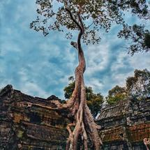 Super huge tree on the top of the amazing stone Siem Reap Cambodia