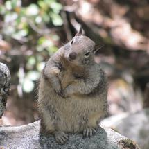 Curious squirrel sitting on a rock in Yosemite National Park United States