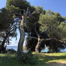 Trees along the coast of pula