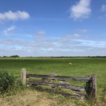 Sheep in meadow landscape around Heeg, Friesland The Netherlands