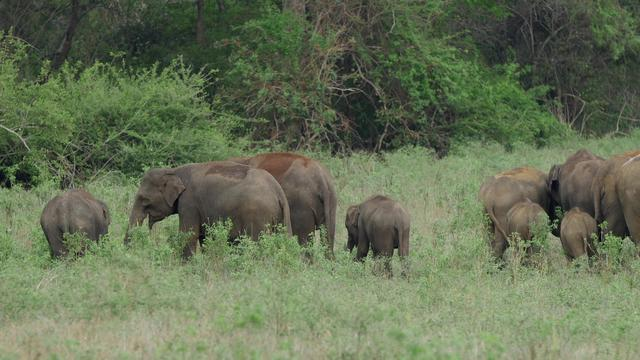 Herd of Asian elephant with baby elephants in Minneriya national park, Sri lanka