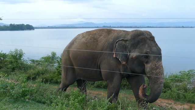 Asian elephant walks next to an electric fence and Udawalawe Reservoir in Udawalawe national Park in Sri Lanka