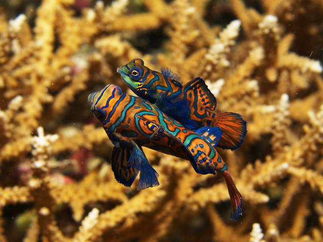 Mandarin fish mating in Bunaken National Marine Park Indonesia