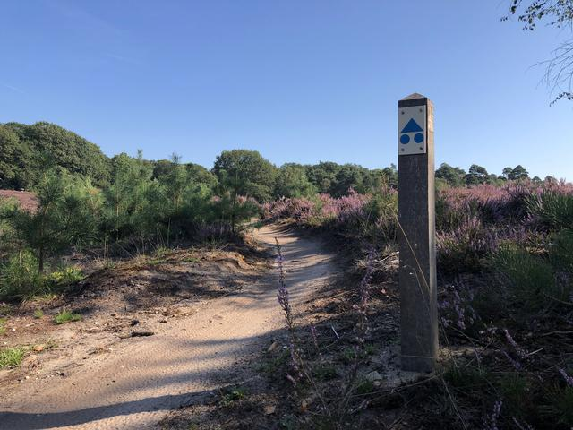 MTB path through the flowering Heather at the National Park Sallandse Heuvelrug in The Netherlands