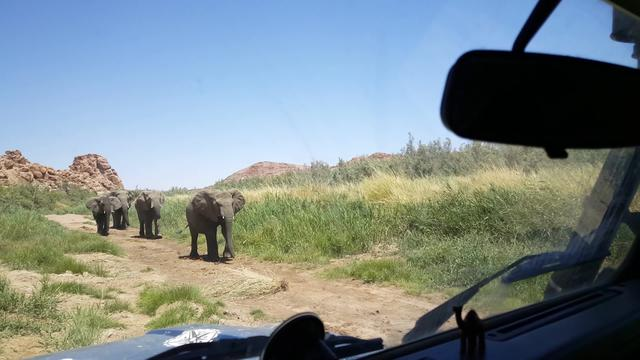 Herd of elephants passing by a car at the Ugab River bed in Namibia