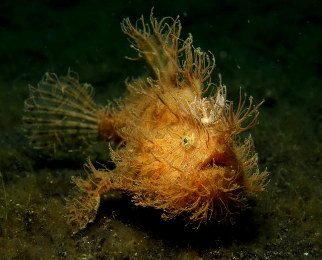 Yellow hairy frogfish in Lembeh Sulawesi Indonesia