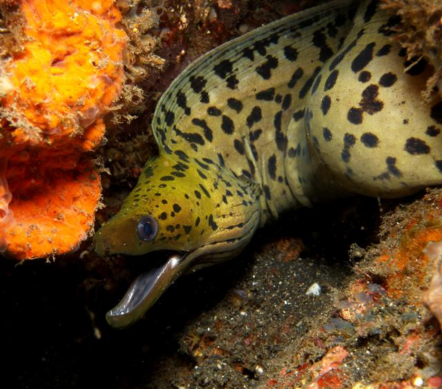 Moray eel in Lembeh Sulawesi Indonesia