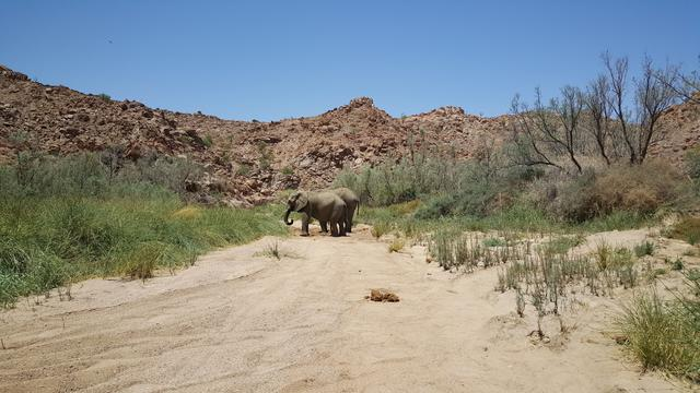 Elephants on Ugab River bed in Nambia