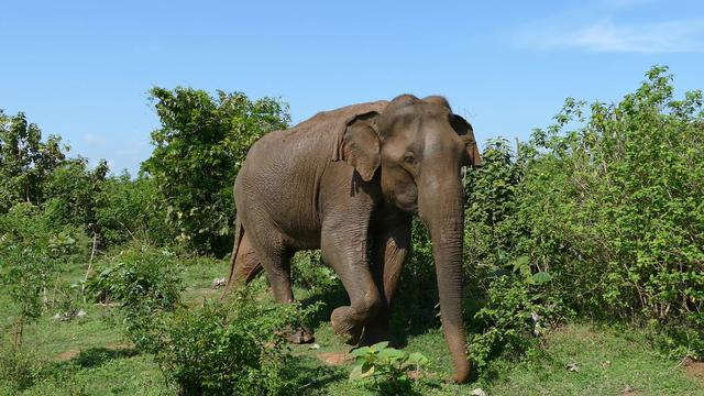 Big asian elephant walks towards a new tree for food in Udawalawe national Park Sri Lanka