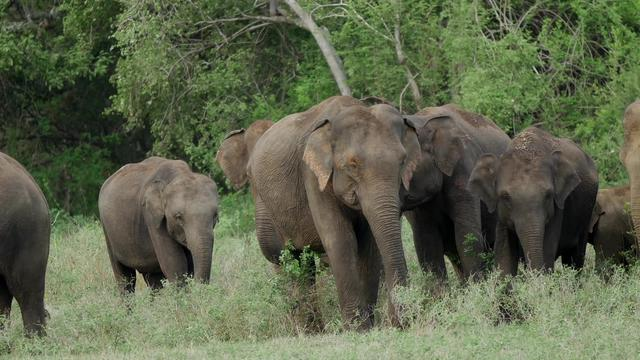 Herd of Asian elephant at Minneriya national park in Sri lanka
