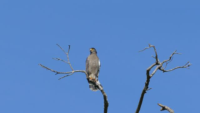 An eagle high in a tree in Udawalawe national Park Sri Lanka