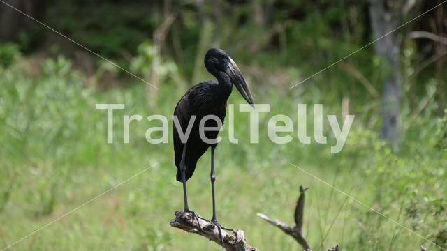 African openbill standing on a tree branch