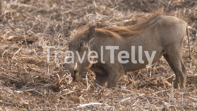 Warthog looking for food at Diawling National Park in Mauritania Africa