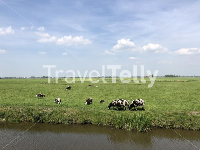 Black and white herd of sheeps in Friesland The Netherlands