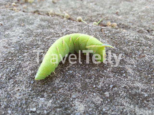Green caterpillar with blue pointy tail, red dots and yellow lines
