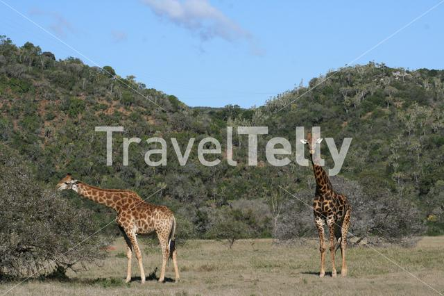 Giraffes in South African landscape
