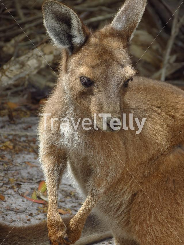 Baby kangaroo at Lucky Bay in Cape Le Grand National Park Australia