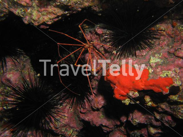 Crab with urchins in the Atlantic Ocean at La Palma