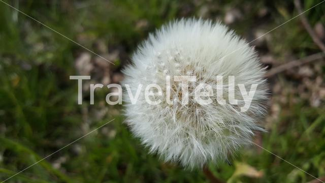 Close up from a common dandelion