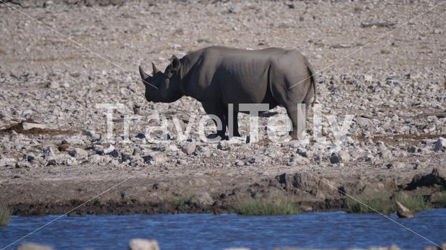Lonely rhino standing on a rocky and warm savanna in Etosha National Park, Namibia