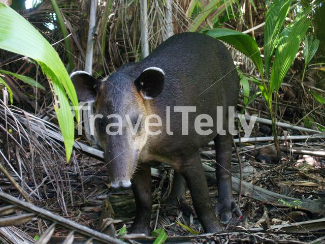 Bairds Tapir in Corcovado National Park Costa Rica