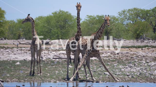 Herd of giraffe around a pond drinking water