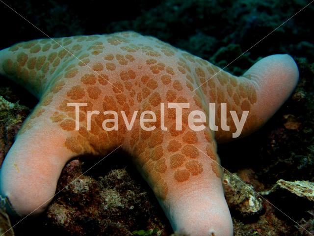 Sea star in Bunaken National Marine Park Indonesia