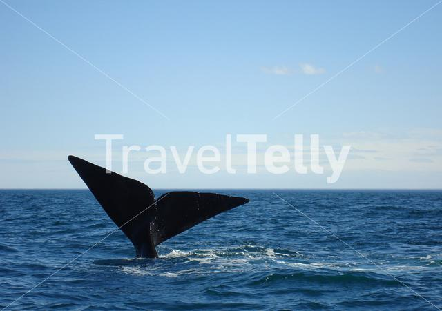 Tale of a humpback whale in Argentina