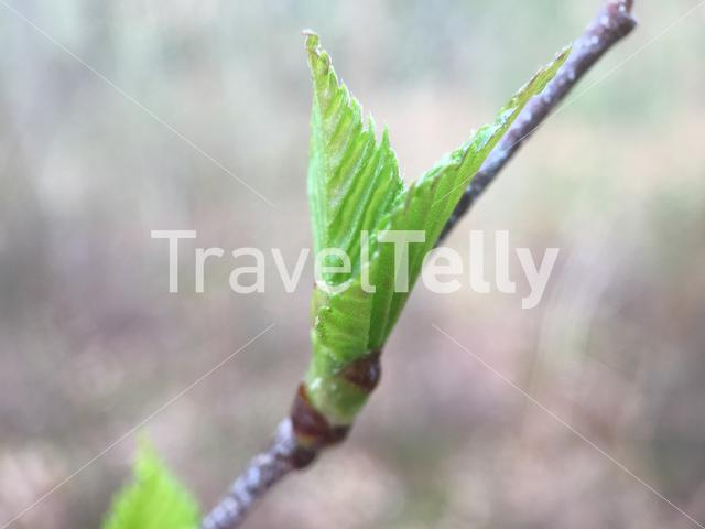 A new leaf in early spring