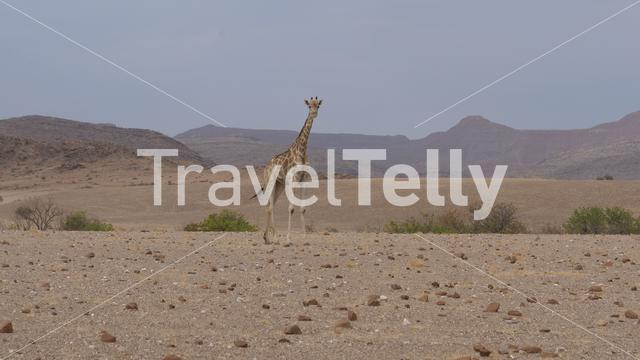 Lonely giraffe stands on the dry savanna of Orupembe in Namibia